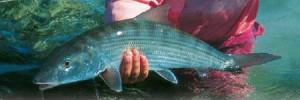 Ein prächtiger Bonefish