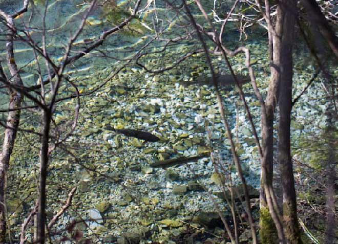 Laichende Forellen im Auslauf des Sees