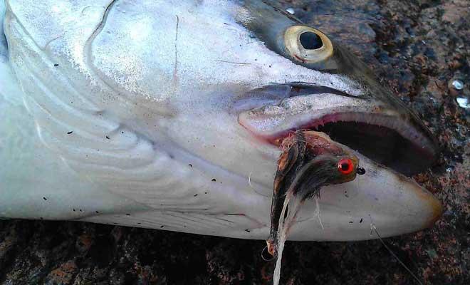 Mit Hilfe des Goby Streamers konnte diese Meerforelle überlistet werden.