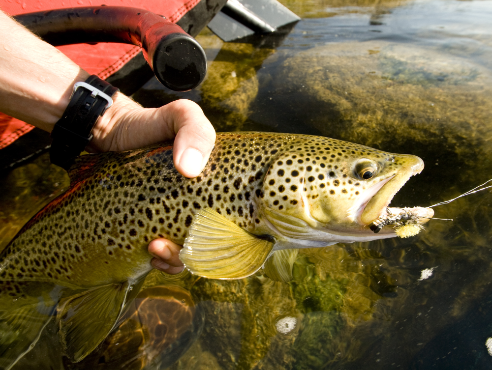 Große Bachforelle mit Hopper überlistet. Bow River (Canada)