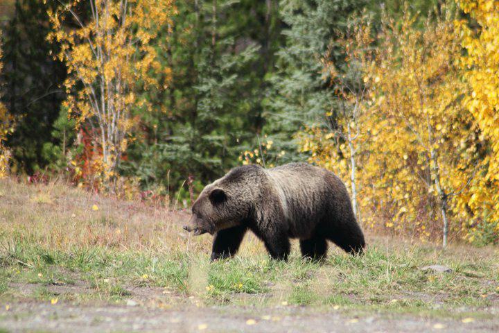 Grizzly Bär am Rande des Morice Rivers unterwegs