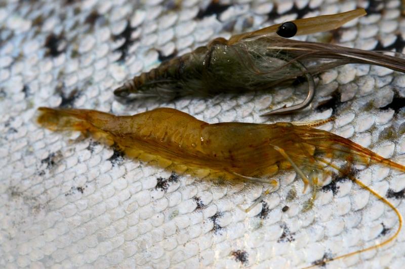 Mit dem Oeland Shrimp hat Morten schon sehr viele Meerforellen überlistet