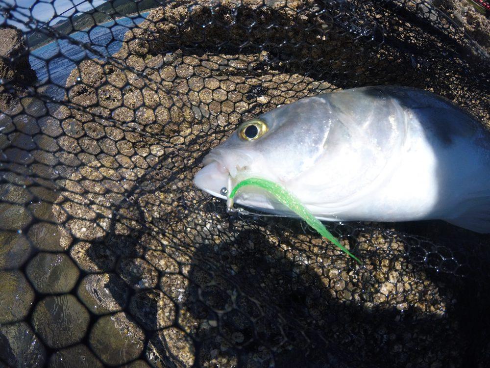 New Zealand - Kingfish - Ihr Spezialist aus dem Chiemgau